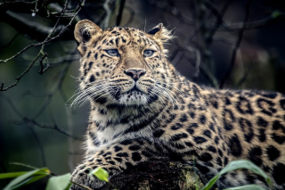 Free Leopard Picture for Android, iPhone and iPad