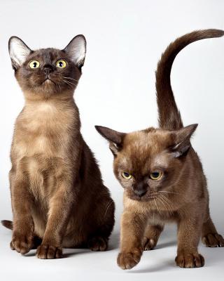 Two kittens - Obrázkek zdarma pro Nokia Asha 503