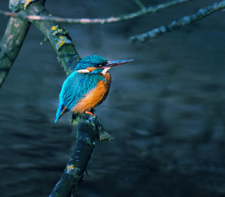Kingfisher On Branch - Obrázkek zdarma pro iPad 2