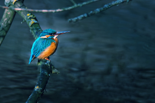 Kingfisher On Branch - Obrázkek zdarma pro Widescreen Desktop PC 1920x1080 Full HD