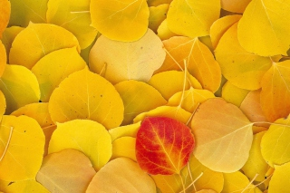 Red Leaf On Yellow Leaves Background for Android, iPhone and iPad