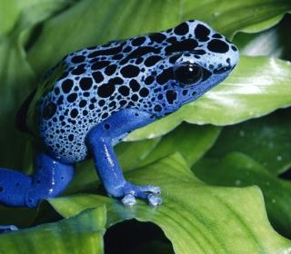 Blue Frog - Obrázkek zdarma pro 320x320
