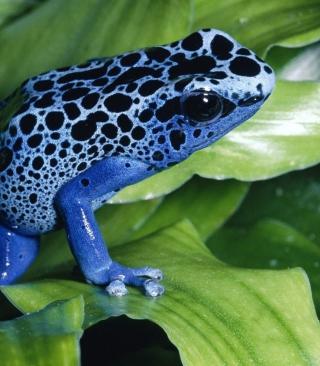Blue Frog - Obrázkek zdarma pro Nokia Asha 203