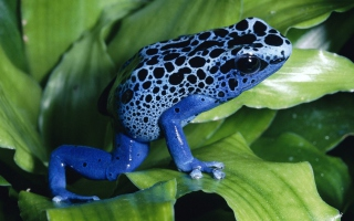 Blue Frog - Obrázkek zdarma pro HTC Desire 310