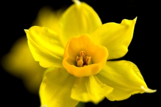 Yellow narcissus Wallpaper for Android, iPhone and iPad