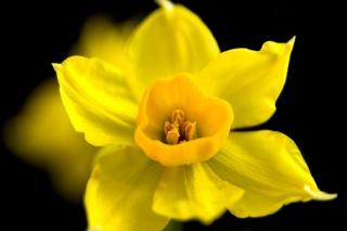 Yellow narcissus - Fondos de pantalla gratis