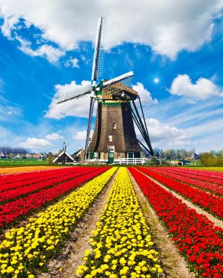 Tulips Field In Holland HD - Obrázkek zdarma pro 240x432