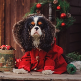 Dog Cavalier King Charles Spaniel in Christmas Costume - Obrázkek zdarma pro 1024x1024