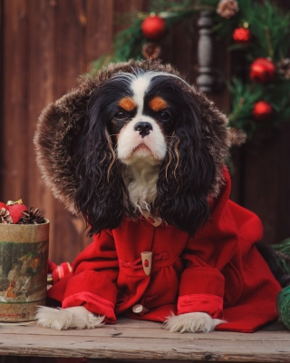 Dog Cavalier King Charles Spaniel in Christmas Costume - Obrázkek zdarma pro Nokia Asha 303