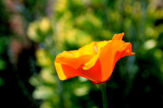 Orange Bokeh Flower Wallpaper for Android, iPhone and iPad