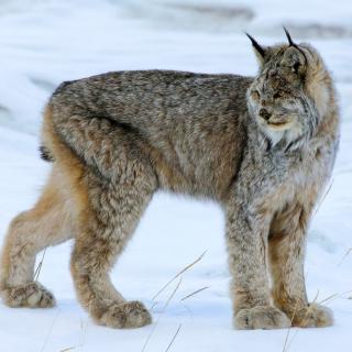 Canada Lynx - Obrázkek zdarma pro iPad 3
