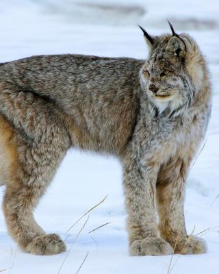 Canada Lynx - Obrázkek zdarma pro 360x480