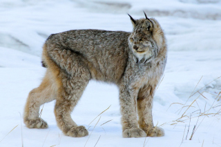 Canada Lynx Background for Android, iPhone and iPad