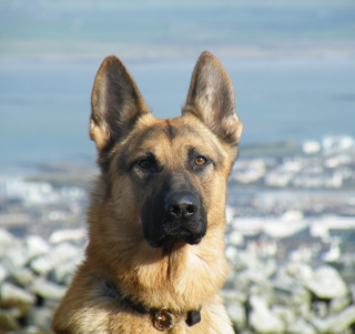 German Shepherd - Obrázkek zdarma pro 1024x1024