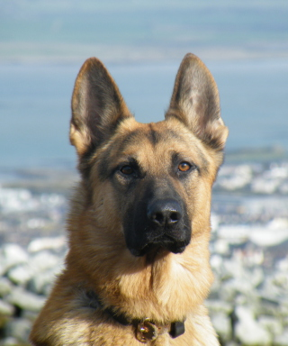 German Shepherd - Obrázkek zdarma pro Nokia Asha 203