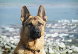 German Shepherd - Obrázkek zdarma pro Sony Xperia Tablet Z