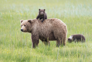 Bears In Lake Clark National Park, Alaska Background for Android, iPhone and iPad