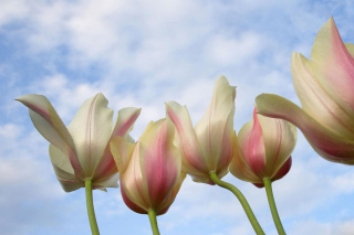 White Tulips Background for Android, iPhone and iPad