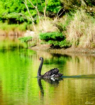 Black Swan Lake - Obrázkek zdarma pro 320x320