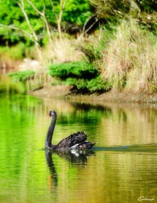 Black Swan Lake - Obrázkek zdarma pro Nokia Asha 308
