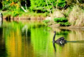 Black Swan Lake - Obrázkek zdarma pro Samsung Galaxy S3