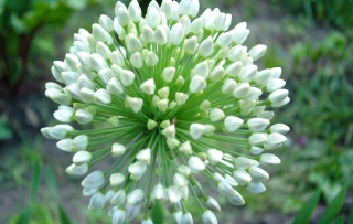 Onion Flower Wallpaper for Android, iPhone and iPad