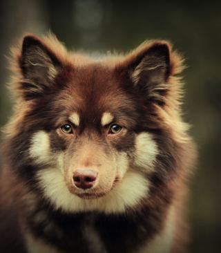 Dog With Smart Eyes - Obrázkek zdarma pro Nokia Asha 308