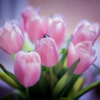 Tender Pink Tulips - Obrázkek zdarma pro 208x208