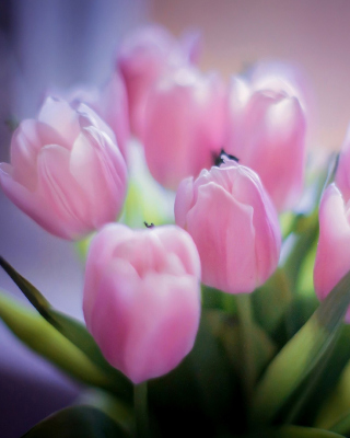 Tender Pink Tulips - Obrázkek zdarma pro Nokia Asha 310