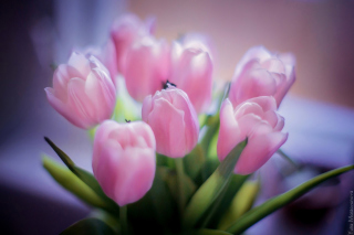 Tender Pink Tulips Picture for Android, iPhone and iPad