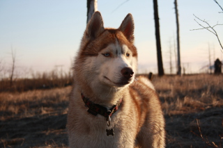 Beautiful Husky Dog Wallpaper for Android, iPhone and iPad