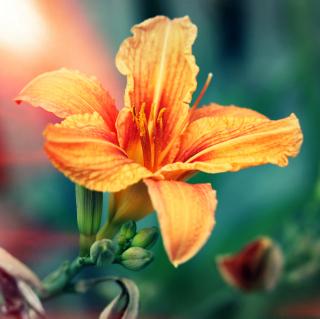 Orange Lily - Obrázkek zdarma pro iPad 3