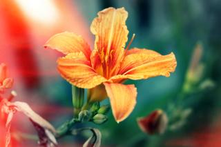 Orange Lily - Obrázkek zdarma pro Samsung Galaxy Nexus