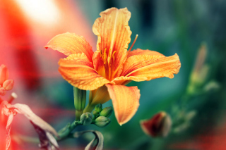 Orange Lily - Obrázkek zdarma pro Samsung Galaxy Note 4
