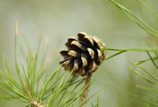 Картинка Pine Cone для телефона