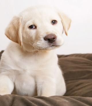 Labrador Retriever - Obrázkek zdarma pro iPhone 5S