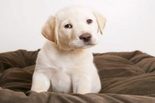 Labrador Retriever - Obrázkek zdarma pro Samsung Galaxy A