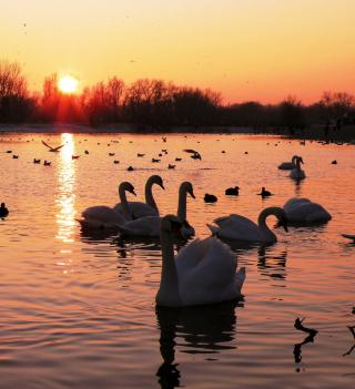 Swans On Lake At Sunset - Obrázkek zdarma pro iPad mini