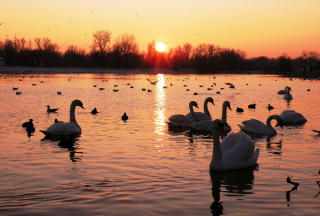 Swans On Lake At Sunset - Obrázkek zdarma pro Desktop 1920x1080 Full HD