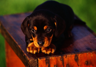 Cute Innocent Looking Puppy HD Background for Android, iPhone and iPad