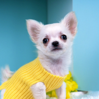 Chihuahua Dog - Obrázkek zdarma pro 128x128