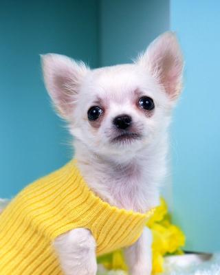 Chihuahua Dog - Obrázkek zdarma pro Nokia C1-02