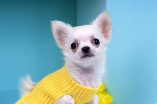 Chihuahua Dog - Obrázkek zdarma pro Android 320x480