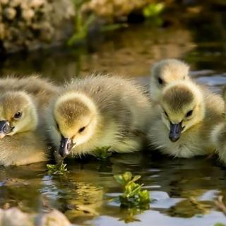 Little Ducklings - Obrázkek zdarma pro 1024x1024
