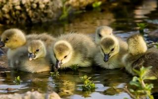Little Ducklings - Obrázkek zdarma pro Android 320x480