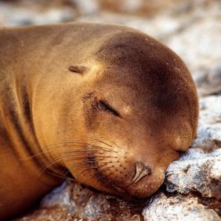 Sleeping Seal - Obrázkek zdarma pro 2048x2048