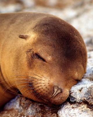 Sleeping Seal - Obrázkek zdarma pro Nokia Lumia 610