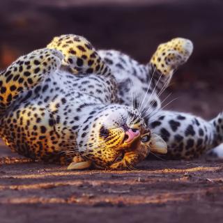 Leopard in Zoo - Obrázkek zdarma pro iPad