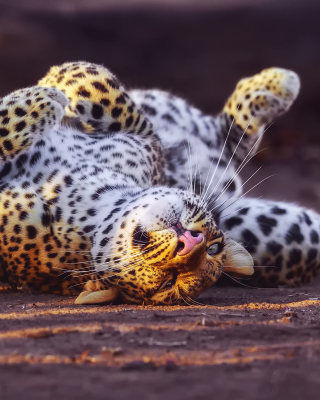 Leopard in Zoo - Obrázkek zdarma pro 640x960