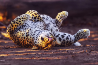 Leopard in Zoo Wallpaper for Android, iPhone and iPad